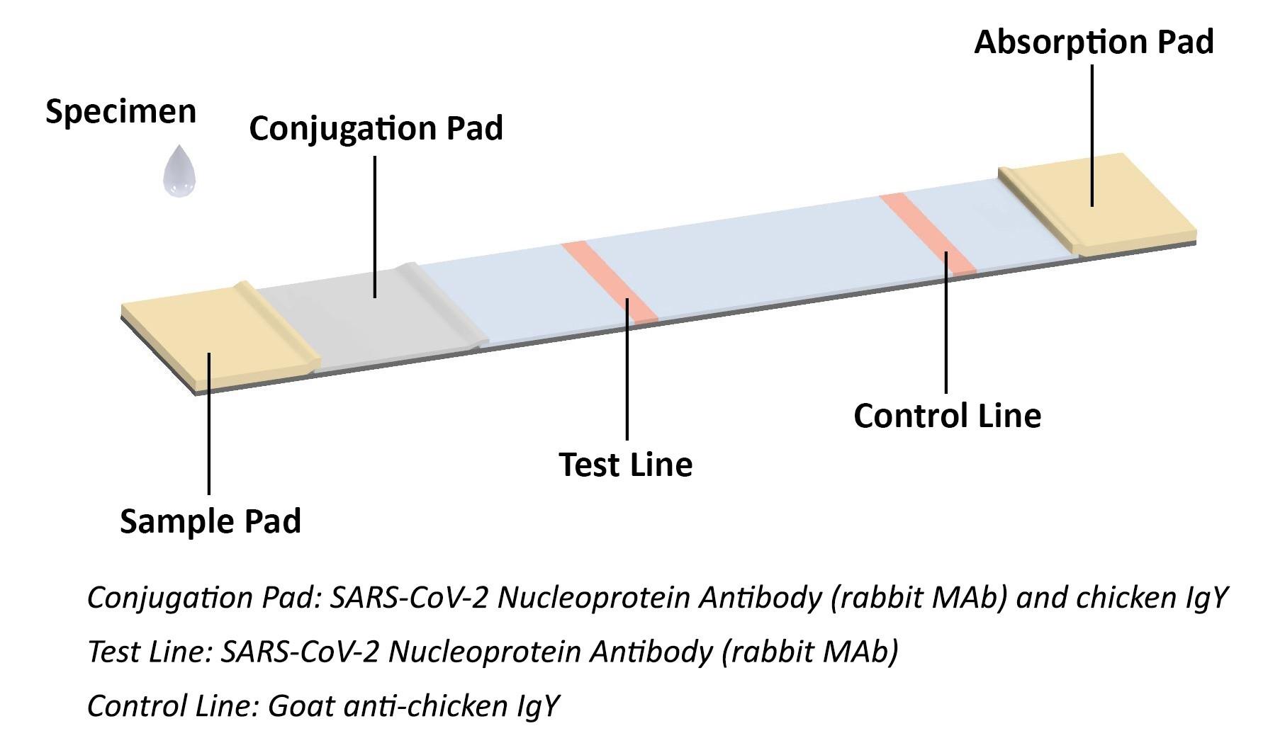 Coronavirus Antigen (Ag) Rapid Test Kit Principle